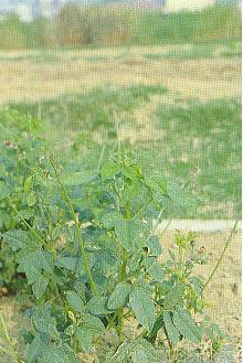 寬翼豆(紫花菜豆)Macroptilium lathyroides (L.) Urb.