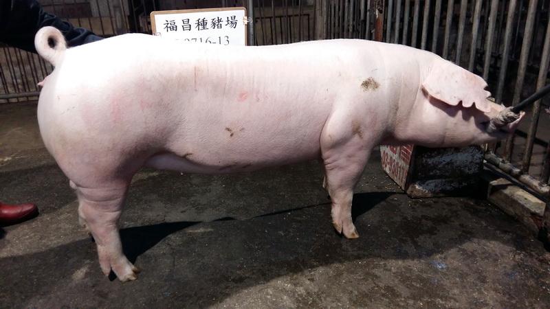 台灣區種豬產業協會10511期L0716-13側面相片