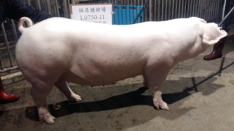 台灣區種豬產業協會10601期L0750-11側面相片