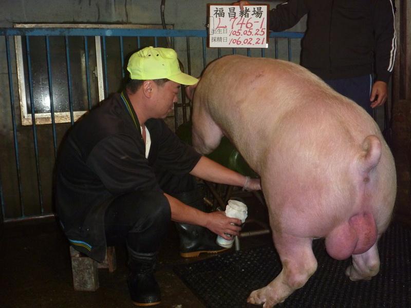台灣區種豬產業協會10602期L0746-01採精相片