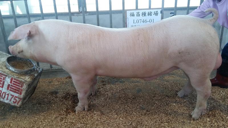 台灣區種豬產業協會10602期L0746-01側面相片