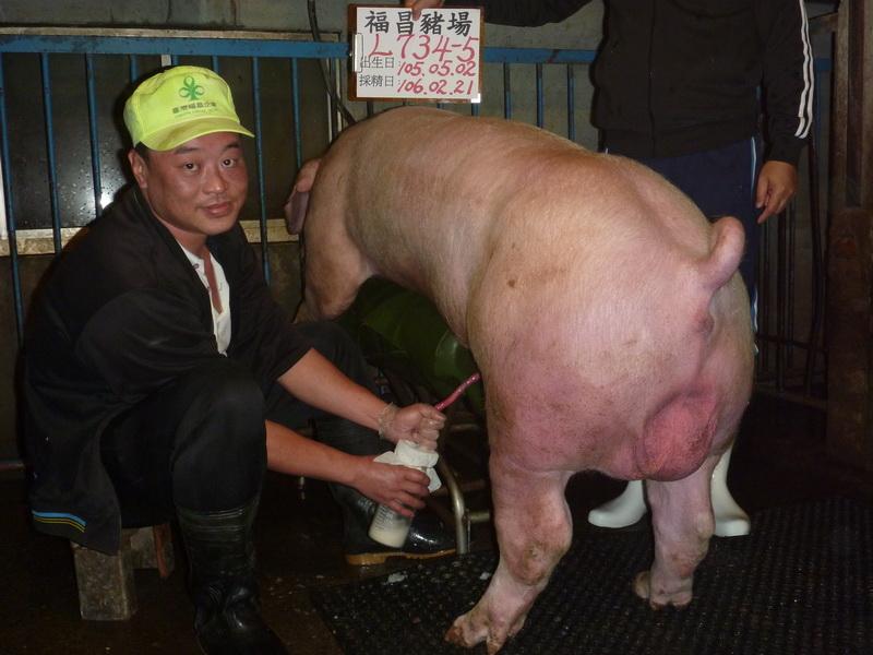 台灣區種豬產業協會10602期L0734-05採精相片