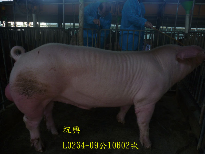 台灣區種豬產業協會10602期L0264-09側面相片
