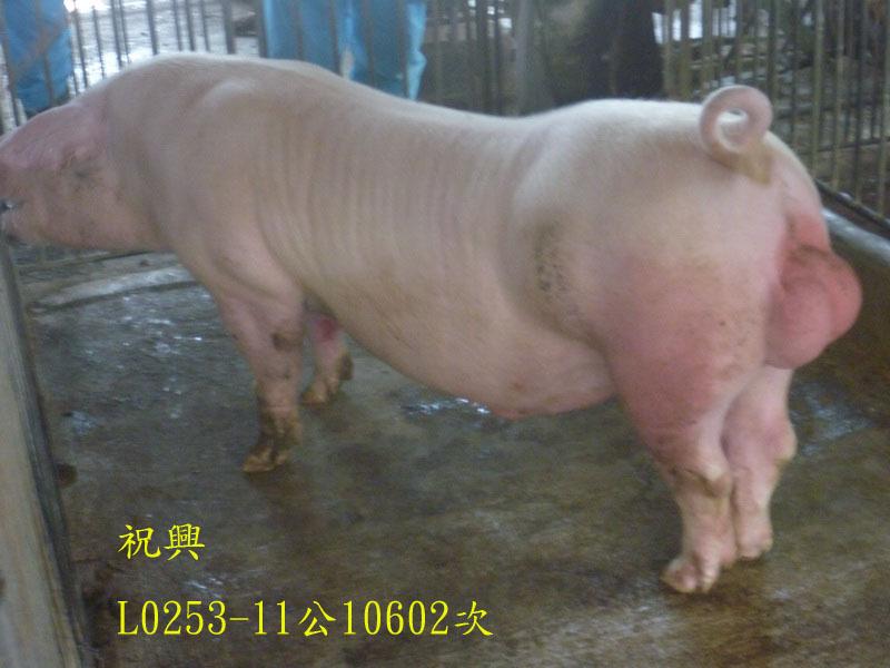 台灣區種豬產業協會10602期L0253-11側面相片