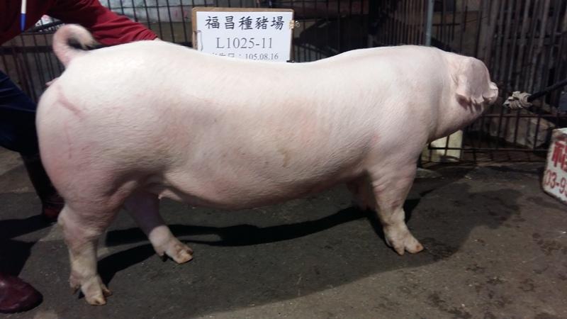 台灣區種豬產業協會10603期L1025-11側面相片...