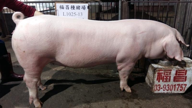 台灣區種豬產業協會10603期L1025-13側面相片...