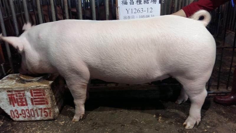 台灣區種豬產業協會10603期Y1263-12側面相片...