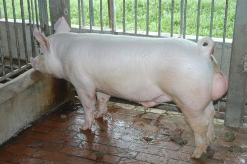 中央畜產會201611期Y1102-13體型-全身照片
