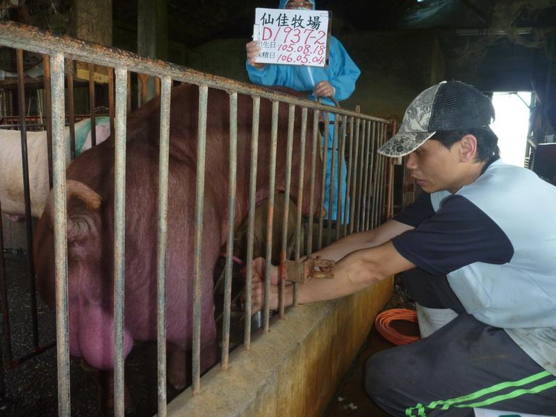 台灣區種豬產業協會10604期D1937-02採精相片