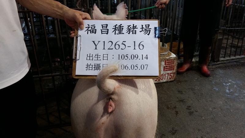 台灣區種豬產業協會10604期Y1265-16後側相片