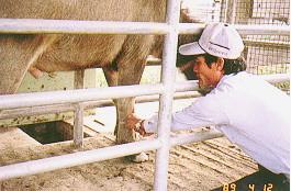 水牛體型測量 -腳結構測量(畜產種原庫及基因交流p40)