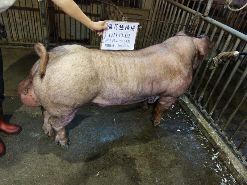 台灣區種豬產業協會10605期D1144-02側面相片