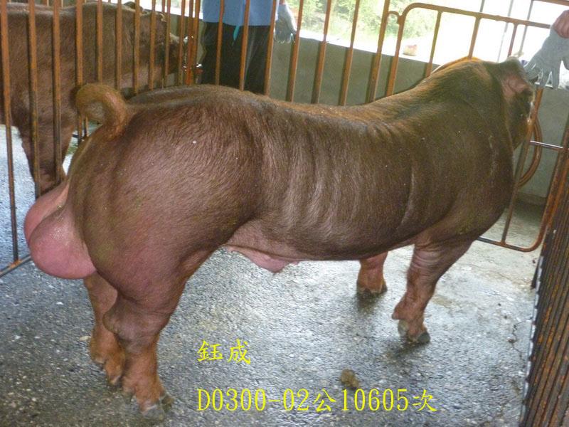 台灣區種豬產業協會10605期D0300-02側面相片