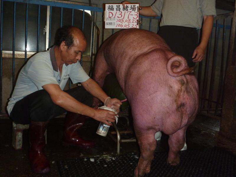 台灣區種豬產業協會10605期D1317-03採精相片