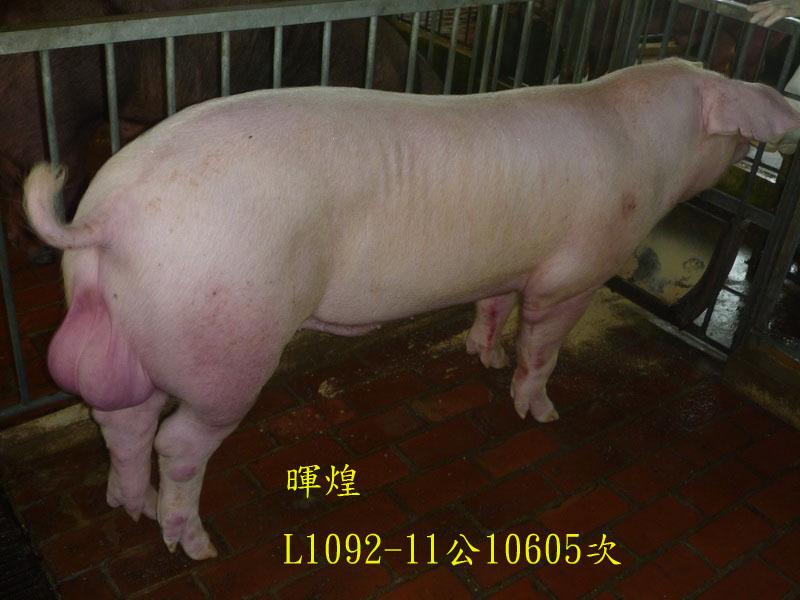 台灣區種豬產業協會10605期L1092-11側面相片