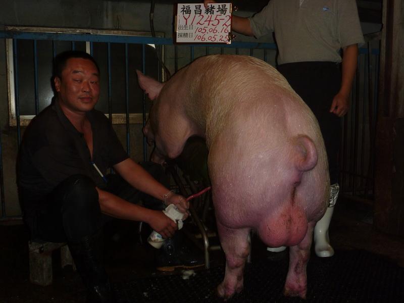 台灣區種豬產業協會10605期Y1245-02採精相片