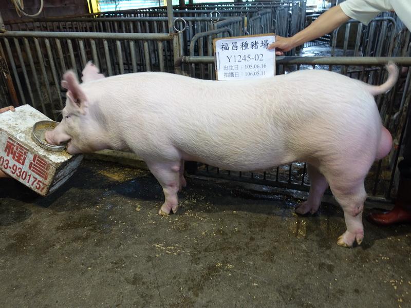 台灣區種豬產業協會10605期Y1245-02側面相片