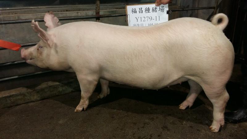台灣區種豬產業協會10605期Y1279-11側面相片