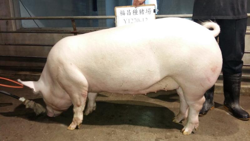台灣區種豬產業協會10605期Y1270-12側面相片