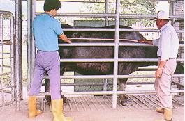 水牛體型測量-體長測量(畜產種原庫及基因交流p40)