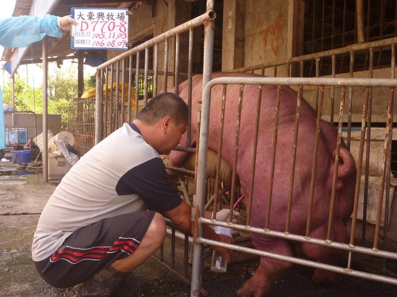 台灣區種豬產業協會10607期D0770-08採精相片