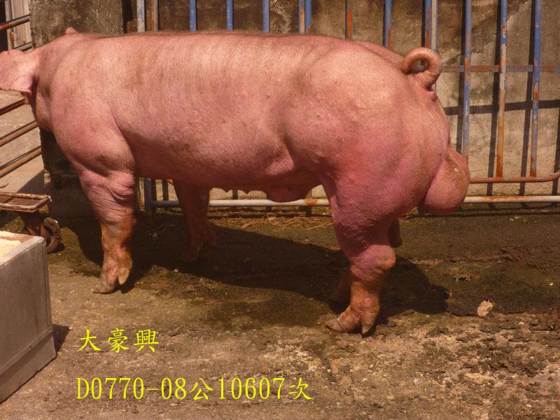 台灣區種豬產業協會10607期D0770-08側面相片