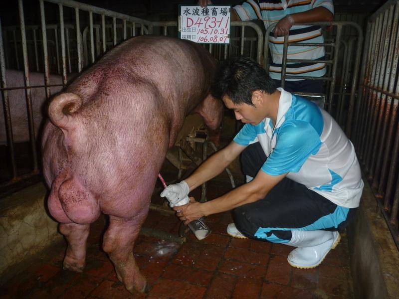 台灣區種豬產業協會10607期D0493-11採精相片