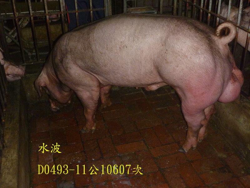 台灣區種豬產業協會10607期D0493-11側面相片