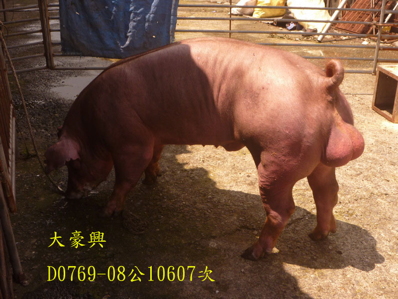 台灣區種豬產業協會10607期D0769-08側面相片