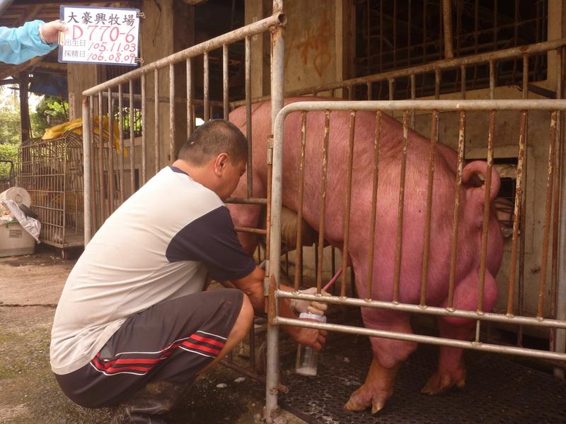 台灣區種豬產業協會10607期D0770-06採精相片