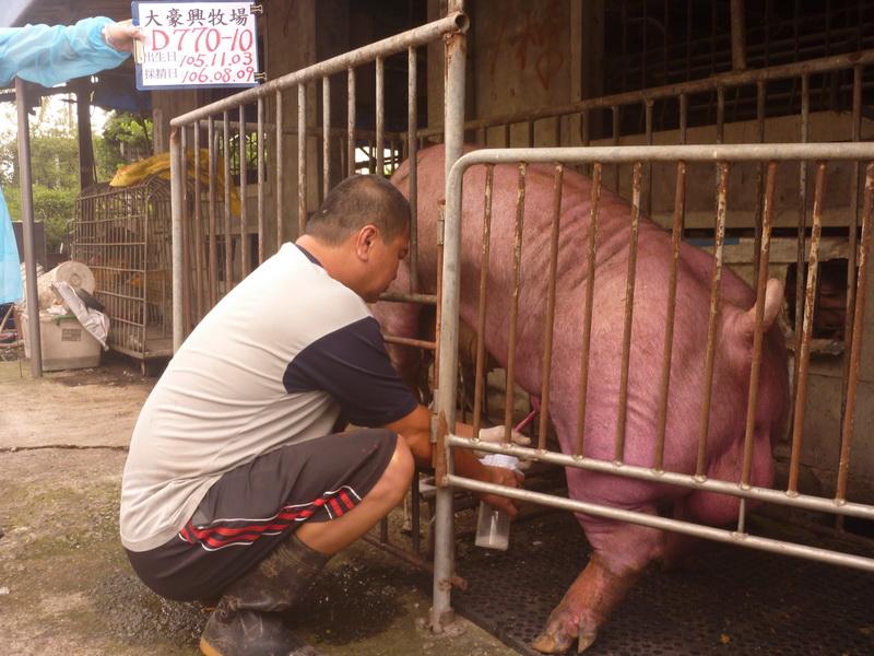 台灣區種豬產業協會10607期D0770-10採精相片