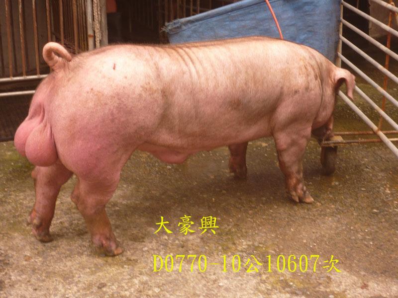 台灣區種豬產業協會10607期D0770-10側面相片