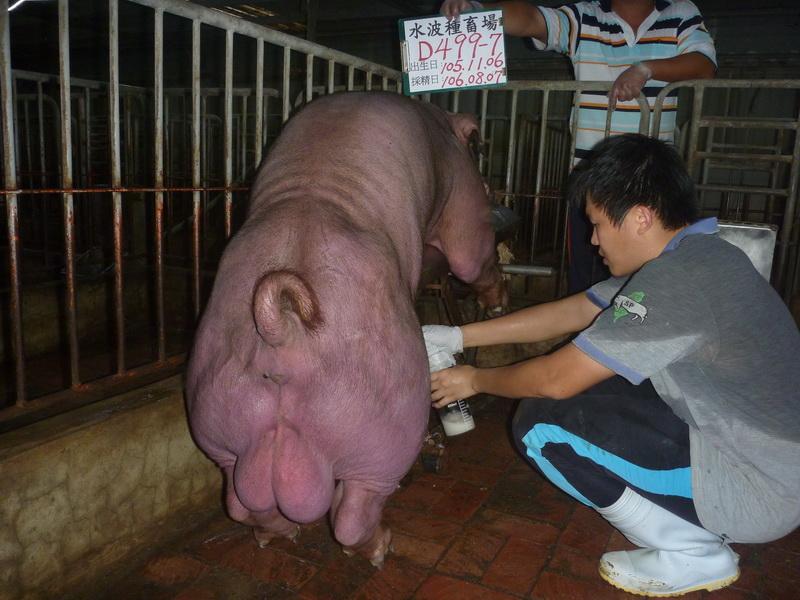 台灣區種豬產業協會10607期D0499-07採精相片