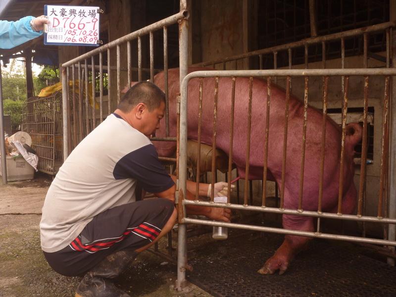 台灣區種豬產業協會10607期D0776-09採精相片