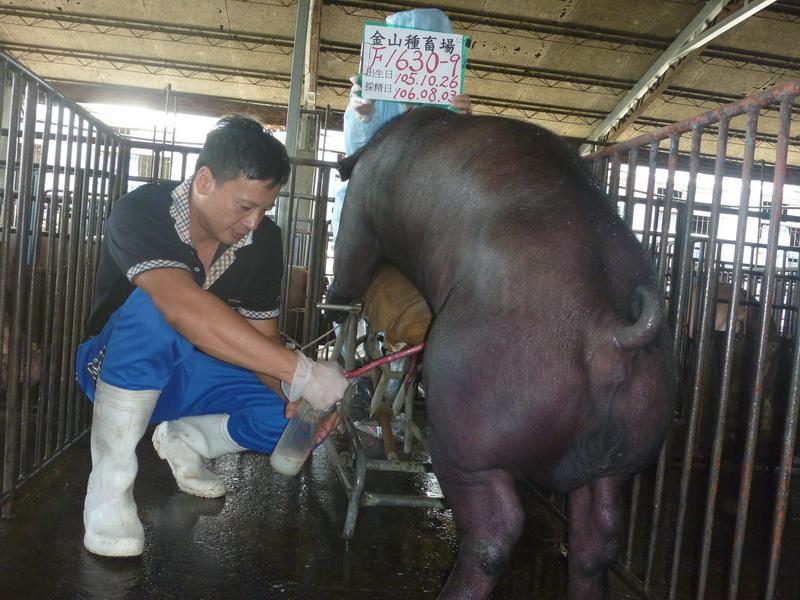 台灣區種豬產業協會10607期F1630-09採精相片