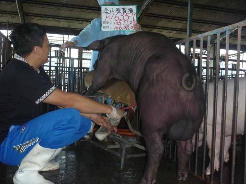 台灣區種豬產業協會10607期F1635-09採精相片