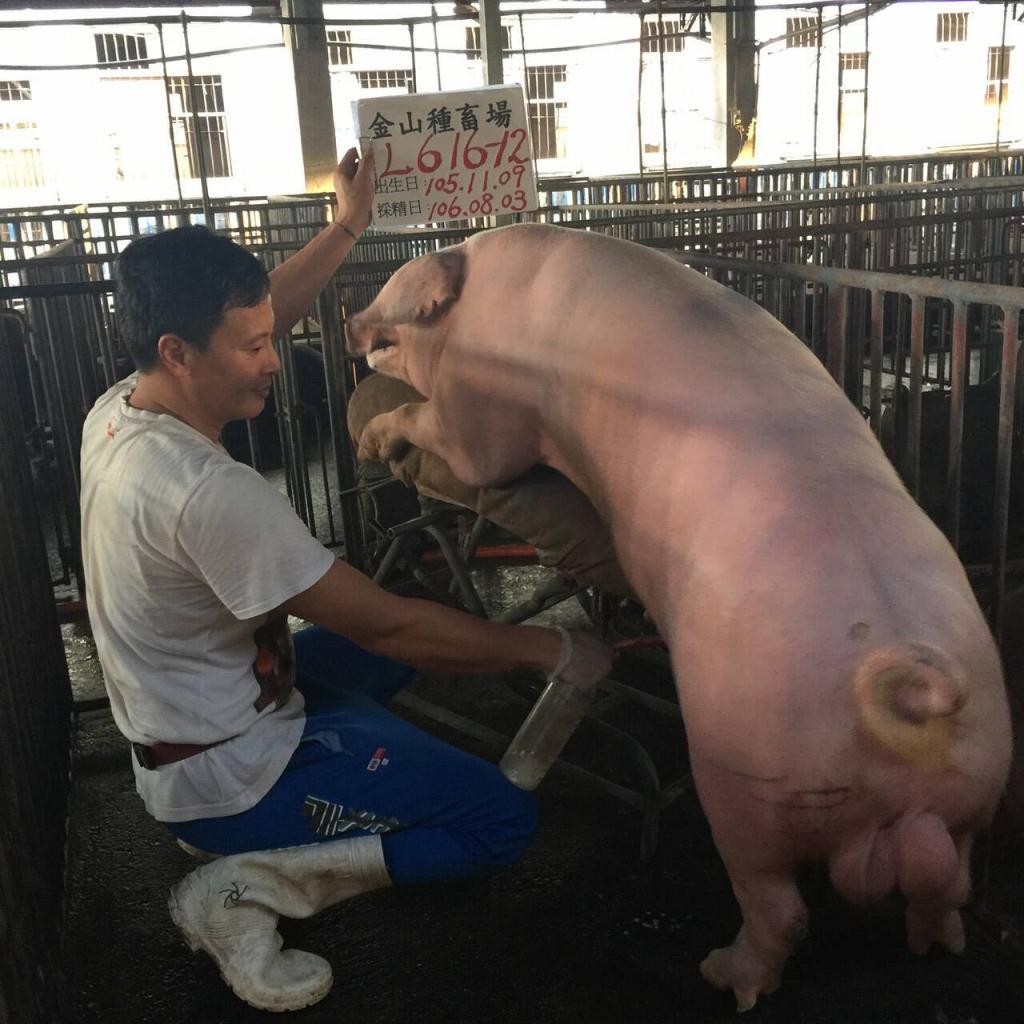 台灣區種豬產業協會10607期L0616-12採精相片