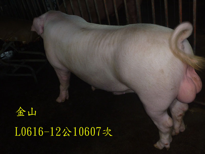 台灣區種豬產業協會10607期L0616-12側面相片