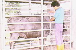 水牛體型測量-體高測量(畜產種原庫及基因交流p40)