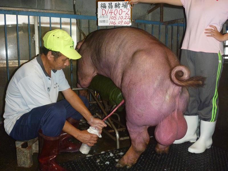 台灣區種豬產業協會10608期D1400-02採精相片