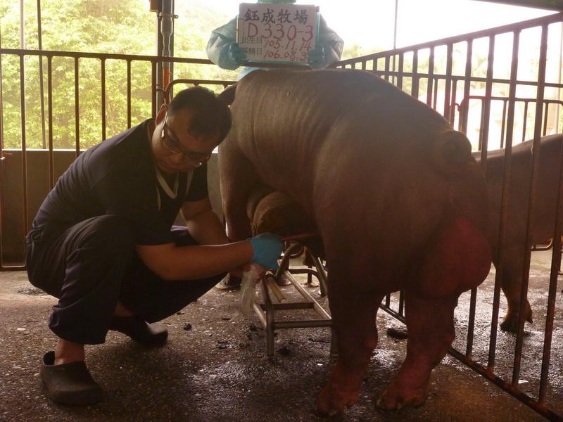 台灣區種豬產業協會10608期D0330-03採精相片
