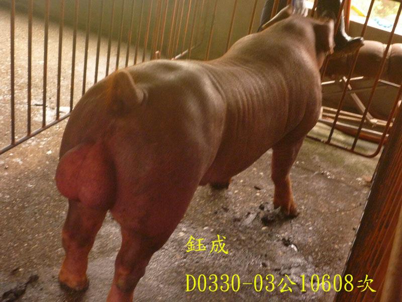 台灣區種豬產業協會10608期D0330-03側面相片