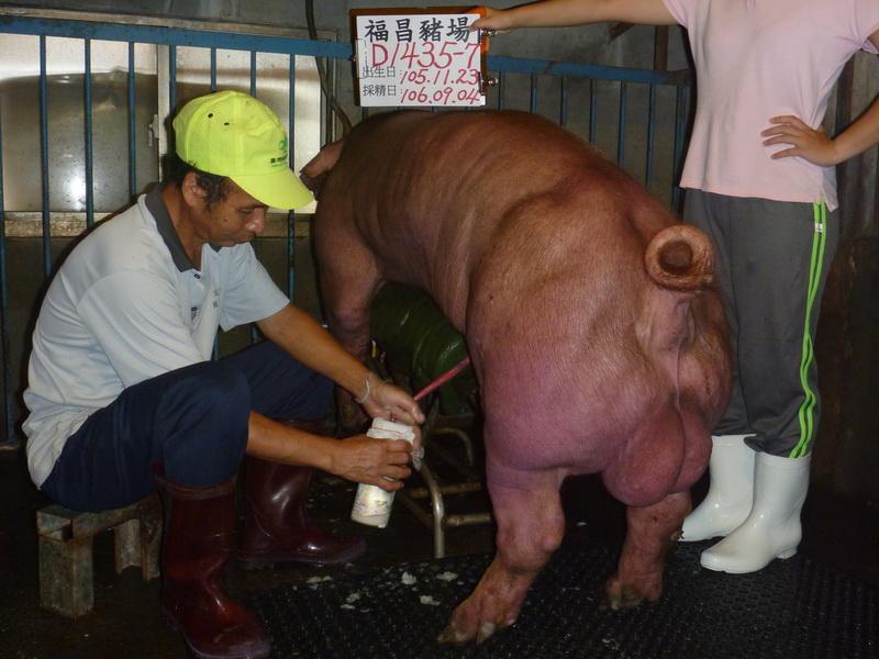 台灣區種豬產業協會10608期D1435-07採精相片
