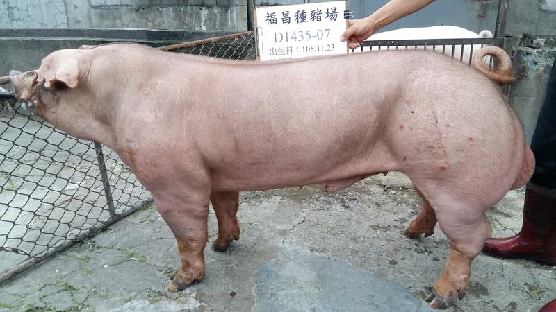台灣區種豬產業協會10608期D1435-07側面相片
