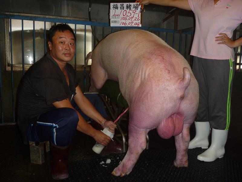 台灣區種豬產業協會10608期L1059-01採精相片