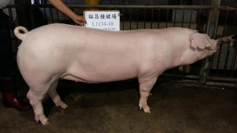 台灣區種豬產業協會10608期L1134-10側面相片