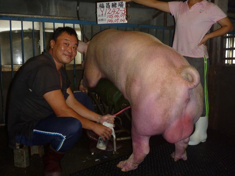 台灣區種豬產業協會10608期Y1242-03採精相片