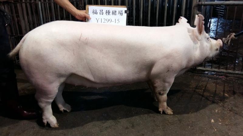 台灣區種豬產業協會10608期Y1299-15側面相片