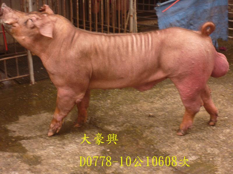 台灣區種豬產業協會10608期D0778-10側面相片