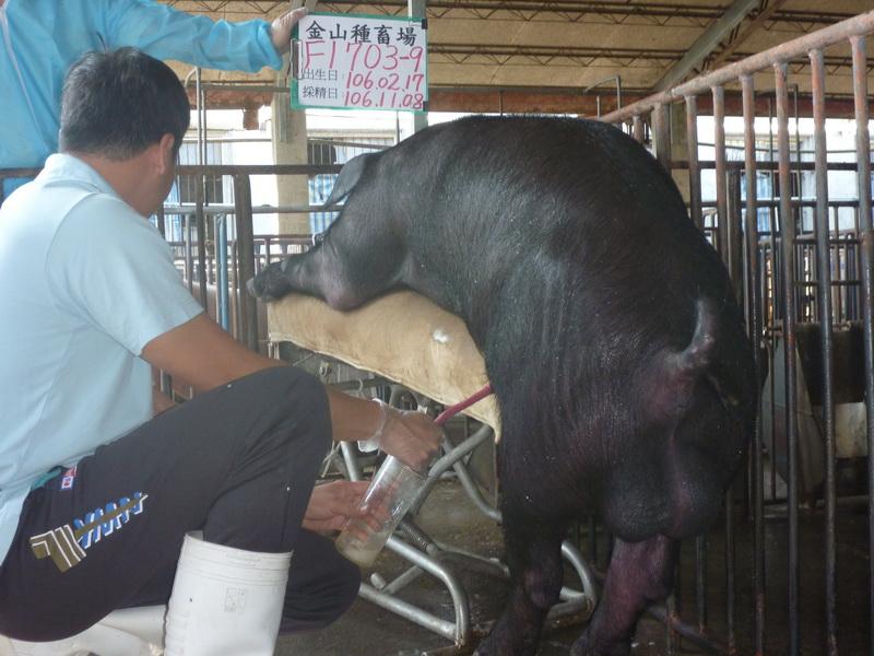 台灣區種豬產業協會10610期F1709-09採精相片
